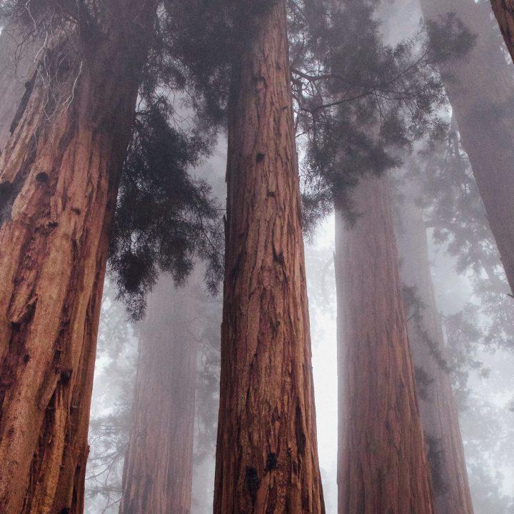 Cursos nos EUA. Foto de uma Sequóia, popular árvore no país.