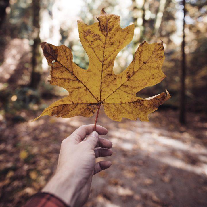 Preço de Intercâmbio no Canadá. Na foto, uma Mapple Leaf, a tradicional folha que ilustra a bandeira do Canadá.