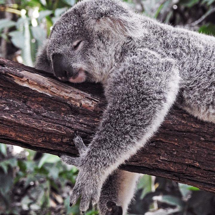 Coala na Australia
