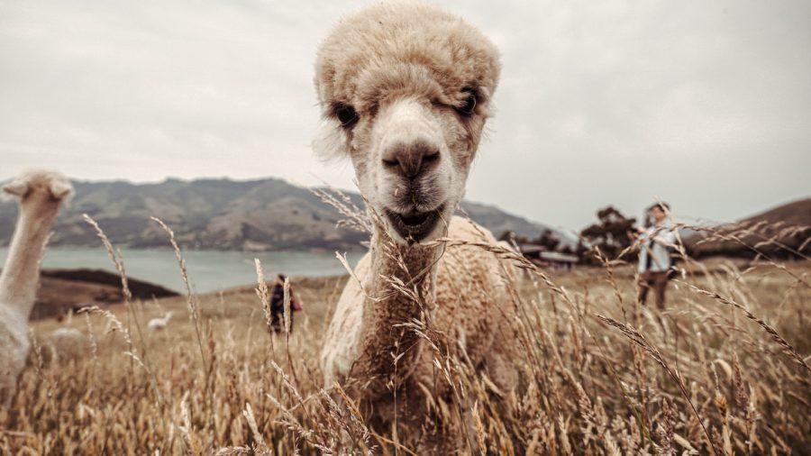 Curiosidades da Nova Zelândia: muitas ovelhas.